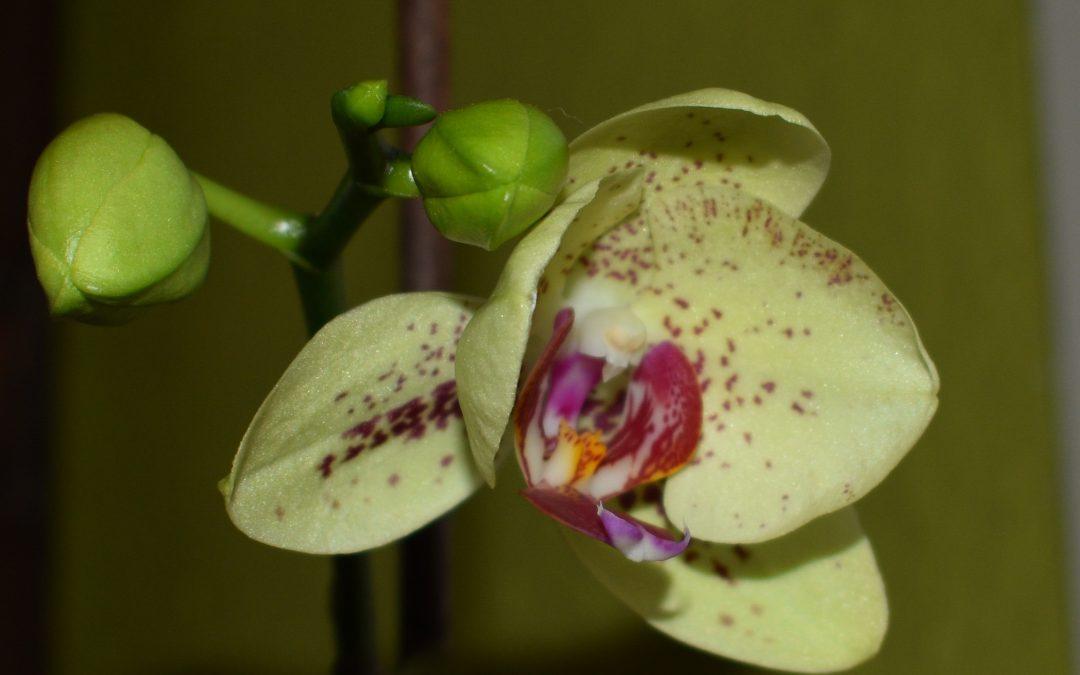 Jen's Orchid